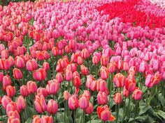 What's your favourite season?  I've loved seeing the World in bloom this spring  and really enjoyed getting to Keukenhof gardens in @iamsterdam last month to see the pretty tulips! Worth a trip for sure  #iamsterdam #keukenhof #keukenhofgardens #all_my_own #tulips #netherlands #holland #travelblogger #latergram #fbtmb #visitamsterdam #travelawesome #mytinyatlas #ukblogger #visitkeukenhof #top #europevacations #topeuropephoto #hashtagtheworld by abbitravels