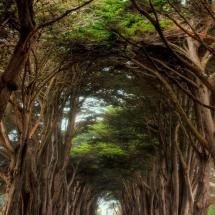 Cyprus tree way to the Historic RCA building in Point Reyes National Seashore, California    56