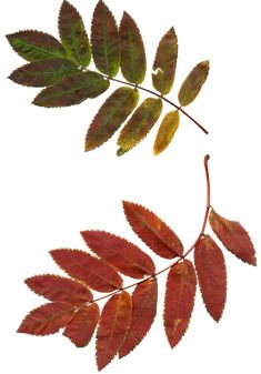 Find images of Rowan Tree. ✓ Free for commercial use ✓ No attribution required ✓ High quality images. Pink Wallpaper Iphone, Autumn Photography, Nature Images, Sketch Design, Creepers, Rowan, Beautiful Birds, Autumn Leaves, Natural