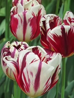 Broken tulip look a like in Keukenhof