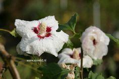 Hibiscus sinosyriacus 'Ruby Glow'  boomvormende tuinhibiscus grootbloemig. De hoogte na 10 jaar is 150 cm. De bloemkleur is wit met een donker hart. De bloeiperiode is augustus - september. Deze plant is matig winterhard.