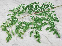 Moringa Dwarf | Baker Creek Heirloom Seed Co