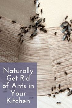 Naturally Get Rid of Ants in Your Kitchen | Essential Housekeeping Tips | Household Cleaning Hacks | Natural Cleaning Products | Lie Hacks