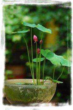 Grow lotus flower my garden pinterest water lilies pond and mini lotus seeds water to keep hydroponic plants mightylinksfo