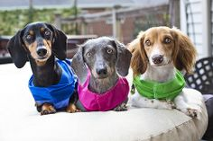 All 3 Doxies {kirstenkrupps.com} #dachshund #doxie #wienerdog #pet #petphotography #portrait #50mm #dogs #dog #cute
