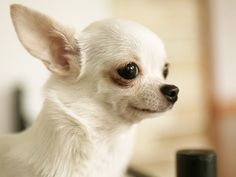 The Chihuahua's history is shrouded in mystery, but some believe he originated from the Fennec Fox, a very small animal with big eyes and ears, which could explain the tiny frame, luminous eyes and large ears on the breed today. Chihuahua's were used in religious ceremonies and were pets to the upper class. The breed derives its name from the Mexican State of Chihuahua, where the earliest specimens of the breed were found.