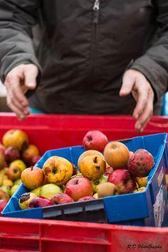 Nettoyage et tri des pommes avant le pressage