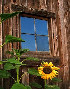 barn and sunflower. a lone sunflower is growing on the backside of our barn too! Country Barns, Old Barns, Country Life, Country Living, Happy Flowers, Beautiful Flowers, Sun Flowers, Sunflowers And Daisies, Old Windows