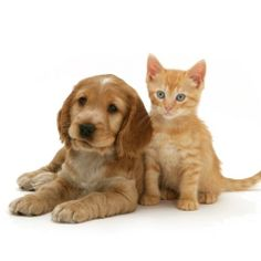 Golden Cocker Spaniel Puppy with Ginger Kitten Cute Baby Animals, Animals And Pets, Golden Cocker Spaniel Puppies, Cockerspaniel, Orange Cats, Cat Day, Animal Pictures, Dogs And Puppies, Kittens