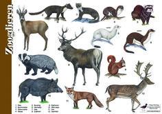 Herkenningskaart / zoekkaart Zoogdieren (voorkant)