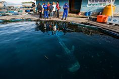 Rescued whale sharks released back into the ocean – in pictures; Two whale sharks destined for an ocean theme park in China were rescued after an 18-month investigation by Wildlife Conservation Society, covered by investigative photojournalist Paul Hilton. The operation, supported by Indonesia's marine police, revealed where the protected species were being illegally caught and kept in sea pens by a major supplier of large marine megafauna to the international wildlife trade