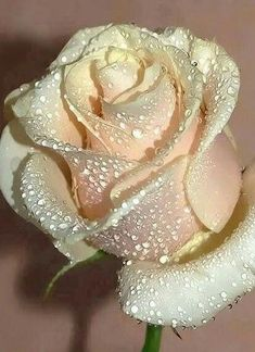 Mia ruže porno