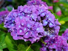 Hortensia Hydrangea - What a lovely flower Learn here how to take care of Hortensia Hydrangea Flower and other great tricks Hydrangea Macrophylla, Hortensia Hydrangea, Hydrangea Seeds, Hydrangea Colors, Hydrangea Care, Hydrangea Flower, 1000 Lifehacks, Hydrangea Landscaping, Acid Loving Plants