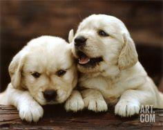 Golden Retriever Puppies Art Print at Art.com