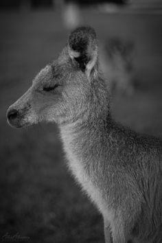 Shh... It's nap time #kangaroo #sleepy #animal
