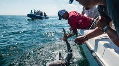 Mystery of where great white sharks give birth may be solved off Long Island