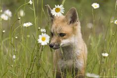 Fox in a field with daisies
