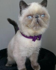 #fluffycat #adorable #ねこ#exoticshothair #crazycatlady #bluepoint #instacat #igcats #ilovemycat #picoftheday #cat_features #kitty #pet #sweet #dailycat #funpetlove #gatto #katze #kitten #lovecats #bestmeow #mycat #cats #catoftheday #catselfie #catsofinstagram #excellent_cats #sealpoint #vegan #persiancat by i.mini.cat