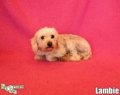 Meet Lambie a Petfinder adoptable Poodle Dog | Akron, OH | Sweet Lambie is a pathetic case of neglect.  Matted horribly, this small dog was in skin pain from...