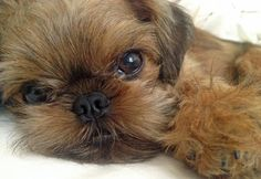 Koba the Brussels Griffon Pictures . . . what a sweet puppy
