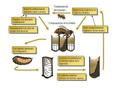 #Apicultura #Etiología de la #LoqueAmericana y su #cicloinfectivo http://aga.cat/index.php/ca/articulos/articulos-de-interes/enfermedades-tratamientos/527-etiologia-de-la-cria-podrida-americana-i-el-seu-cicle-infectiu #abejas #apicultura  #enfermedades #infecciones #abelles #criapodridaamericana #malalties #infeccions