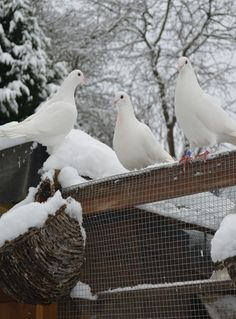 #white doves #birds #animals -Our doves first encounter of snow, they are not quite sure what's happened over night... http://www.whitepetalsandpearls.com
