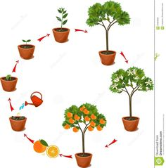 Plant Growing From Seed To Orange Tree. Life Cycle Plant - Download From Over 65 Million High Quality Stock Photos, Images, Vectors. Sign up for FREE today. Image: 87294655