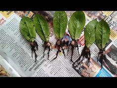 Euphorbia Trigona (African Milk Tree) How to produce Euphorbia trigona Planting Bulbs, Planting Succulents, Planting Flowers, Cactus Plants, Garden Plants, Indoor Plants, Zz Plant Care, African Milk Tree, Uses For White Vinegar