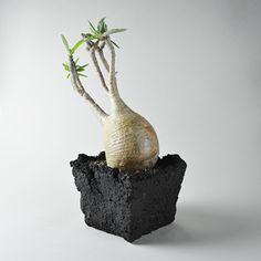 Blast Square Pot + Pachypodium gracilius