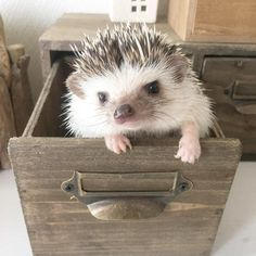 The mother usually give birth between 3 to 5 baby hedgehog however, the size of the litter can range from 1 to 7. The baby hedgehog normally stay in their mom's side or in the nest most of the time.