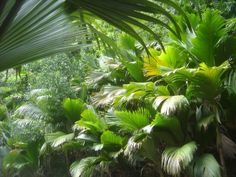 Vallée de Mai Nature Reserve, Seychelles - The natural palm forest is preserved in almost its original state.