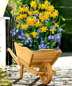 I fiori gialli dei narcisi Tête-à-Tête' (Narcissus) e la Chionodoxa azzurra formano una combinazione allegra e colorata; potrai piantare questi bulbi nella decorativa carriola fornita, di gran risalto in giardino e sul terrazzo.