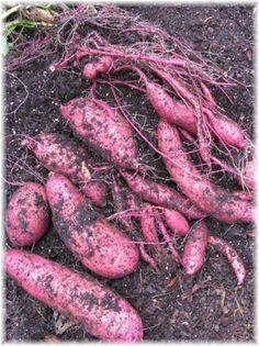 Sweetpotatoes: The Vegetable Garden's Superfood. Perfect for my protein and vitamin needs and I can hold this down during chemo! No meat required!