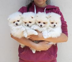 Looking for a teacup or toy breed puppy? You are at the right place. Here at allenglenteacuppups, we have available, Teacup Pomerania puppies for sale, Teacup Yorkie puppies for sale, and Teacup/ Toy Poodle puppies. Visit us today and add more love to your home. Teacup Poodles For Sale, Toy Poodles For Sale, Teacup Poodle Puppies, Mini Poodle Puppy, Yorkie Puppy For Sale, Poodle Puppies For Sale, Yorkie Puppies, Yorkies, Pomeranian Facts