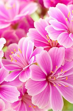 Spring - Nature: Lewisia Mix, Lewisia cotyledon consists of very rich flowering plants