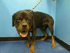 TO BE DESTROYED 8/29/13 Manhattan MAX - A0976256 MALE BLACK/BROWN ROTTWEILER 5yrs Max is a real mighty man! Max walks nicely on a leash & is generally a good boy he did fairly well on his safer until they took away his rawhide & the helper dog gave him some bad vibes, hey not everyone gets along! Max is rated New Hope only. Max needs a hero tonite he needs you to advocate for him. Please contact New Hope approved rescues & foster or adopt Max today. Do not wait, his life depends on it! Save…