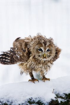 Owl-shake | Flickr - Photo Sharing!
