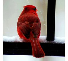 25 OFF SALE Cardinal Photography  5x5 inch photo print; winter holiday decor by ara133photography