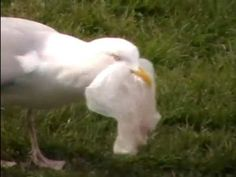 """Disturbing video of a seagull eating a plastic bag. This is why we need to stop using """"disposable"""" plastic bags Source by tdbullar Water Pollution, Plastic Pollution, Green Tips, Go Green, Plastic Bags, Garden Sculpture, Wildlife, Creatures, Posters"""