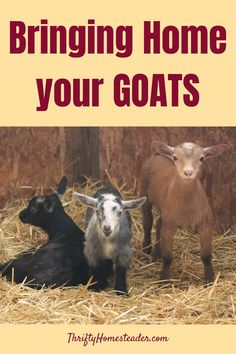 One of the things I love about raising goats is that I don't have to buy an expensive trailer to transport them. Goats can easily be transported in dog crates. #raisinggoats Breeding Goats, Happy Goat, Raising Goats, Dog Crates, Baby Goats, Make Happy, Happy People, Livestock, Homesteading