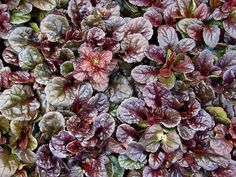 Perennial, groundcover for sun, mostly sun, shade, mostly shade in zone Up to 6 x 12 inch Also known as Mahogany Bugle Weed. Details on Ajuga reptans 'Mahogany' at plantl Herbaceous Perennials, Flowers Perennials, Planting Flowers, Perennial Ground Cover, Ground Cover Plants, Fall Plants, Shade Plants, Plants For Shady Areas, 1 Live
