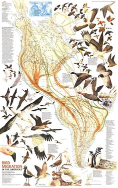 Great map of the migratory routes of birds in the Americas via @avesplayeras