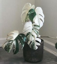 How to Care for a Monstera Deliciosa - That Planty Life - - Learn everything you need to know to care for the jungalicious houseplant, Monstera deliciosa. Easy to care for and fast-growing, it will not disappoint! House Plants Decor, Plant Decor, Garden Plants, Succulent Plants, Cactus Plants, Exotic House Plants, Popular House Plants, Porch Plants, Landscaping Plants