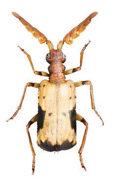 Pterorhopalus mizotai