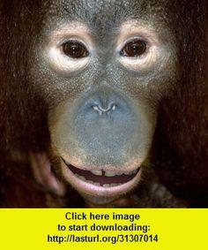 Talking Orangutan, iphone, ipad, ipod touch, itouch, itunes, appstore, torrent, downloads, rapidshare, megaupload, fileserve