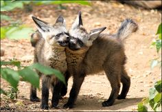Very adorable baby Bat-eared fox / Big-eared dog (Otocyon megalotis, pes usaty) from ZOO Prague For *Allerlei because she likes them ____________ Canon 500D + kit lens 55-250 IS ____________ INFO A...