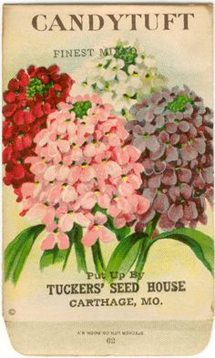 CANDYTUFT Vintage Flower Seed Packet Tuckers Seed House Lithograph (Carthage, Missouri)