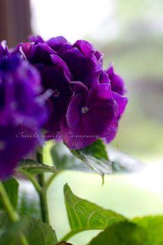 hydrangea #purple