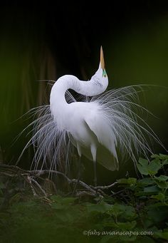 Great Egret in mating display. St. Augustine, Florida. (c) Fabs Forns