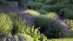 Lavandula officinalis,Santolina spp., Erysimum 'Bowles' Mauve', Phlomis russeliana, Teucrium fruticans